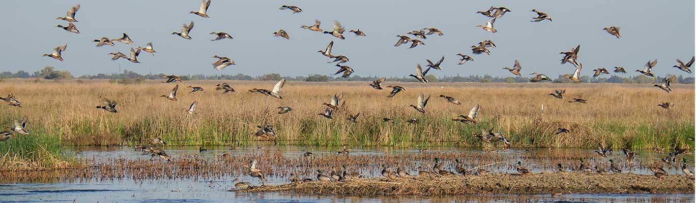 Birds flying over wetlands