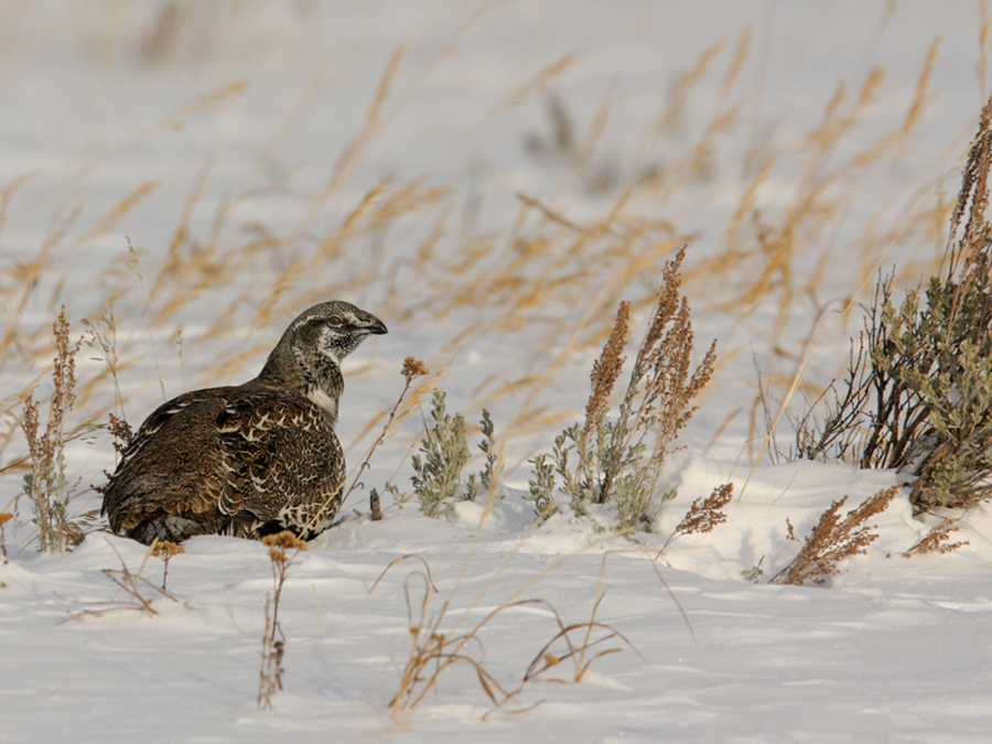 Sage-Grouse Delve Article